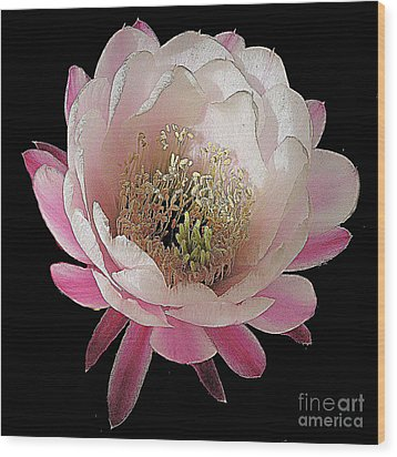 Perfect Pink And White Cactus Flower Wood Print