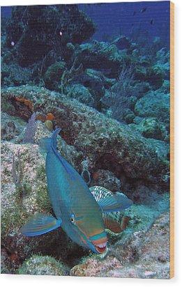 Perky Parrotfish Wood Print by Kimberly Mohlenhoff
