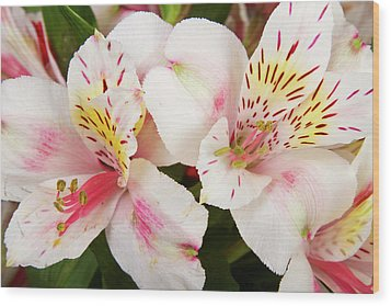 Peruvian Lilies  Flowers White And Pink Color Print Wood Print by James BO  Insogna