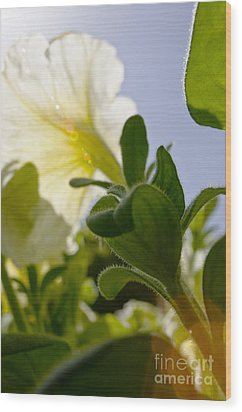 Petunia And Sunflare Wood Print by Ray Laskowitz - Printscapes
