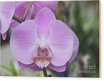 Phalaenopsis Pink Cloud Orchid Wood Print