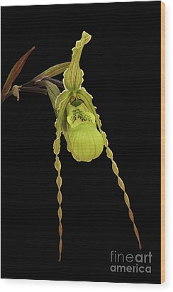 Phragmipedium Richteri Orchid Wood Print