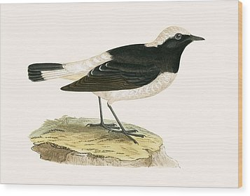 Pied Wheatear Wood Print