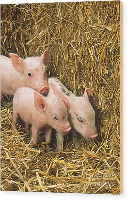 Piglets Wood Print by Science Source