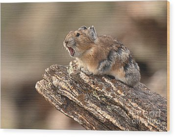 Pika Barking From Rocktop Perch Wood Print