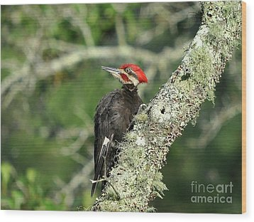 Pileated Perch Wood Print by Al Powell Photography USA