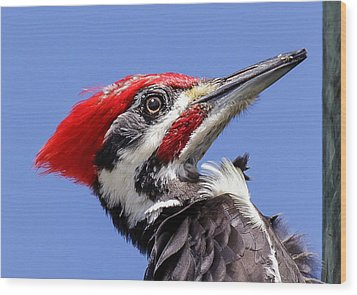 Pileated Woodpecker Headshot Wood Print by Phil Stone