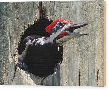 Wood Print featuring the photograph Pileated Woodpecker Looking Out by Phil Stone