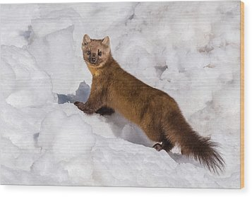 Pine Marten In Snow Wood Print by Yeates Photography