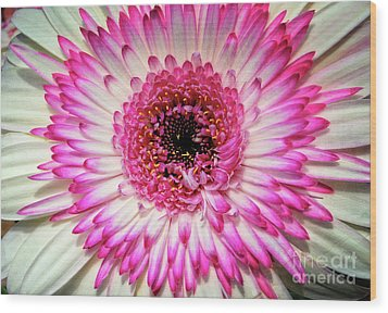 Pink And White Gerbera Daisy Wood Print by Jim and Emily Bush