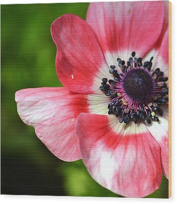 Pink Anemone Flower Wood Print by P S