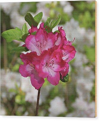 Wood Print featuring the photograph Pink Azalea by Sandy Keeton