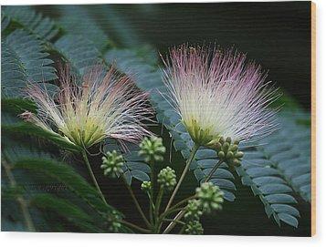 Pink Mimosa  Wood Print