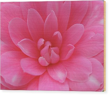Pink Camellia Wood Print by Juergen Roth