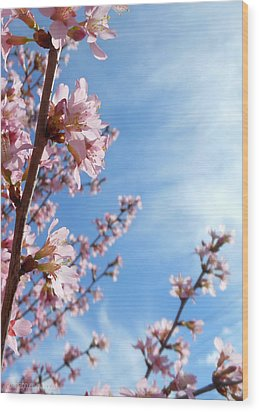 Pink Cherry Blossoms Branching Up To The Sky Wood Print