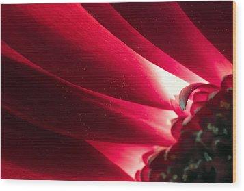 Pink Chrysanthemum Flower Petals  In Macro Canvas Close-up Wood Print