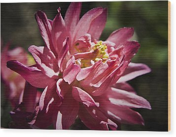Pink Columbine Wood Print by Teresa Mucha