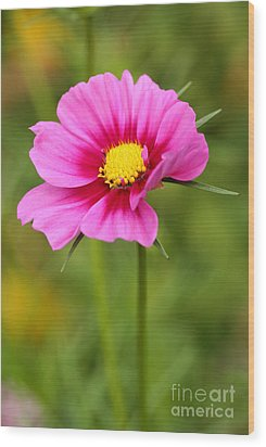 Pink Cosmo Wood Print by Steve Augustin