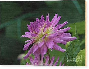 Pink Dahlia Wood Print by Glenn Franco Simmons
