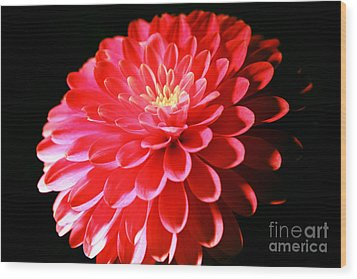 Pink Dahlia1 Wood Print