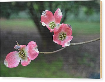 Wood Print featuring the photograph Pink Dogwood by Linda Geiger