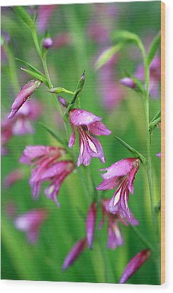 Pink Flowers Of Gladiolus Communis Wood Print by Frank Tschakert