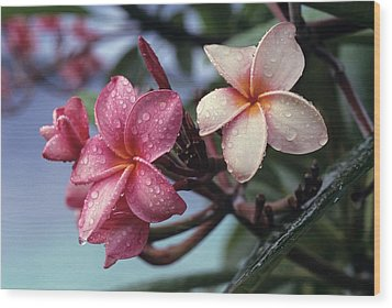 Pink Frangipani Flower And Raindrops Wood Print