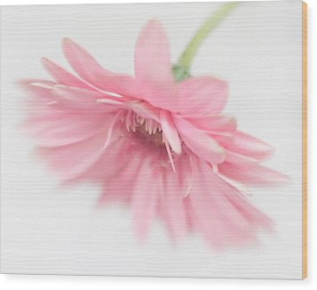 Pink Gerbera Daisy II Wood Print by David and Carol Kelly