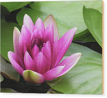 Wood Print featuring the photograph Pink Lotus Flower by Betty Denise