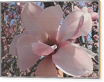 Pink Magnolia In Full Bloom Wood Print by Dora Sofia Caputo Photographic Art and Design