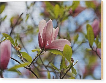 Pink Magnolia Wood Print by Katherine White