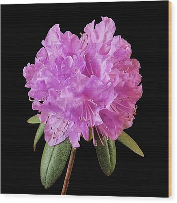Wood Print featuring the photograph Pink Rhododendron  by Jim Hughes