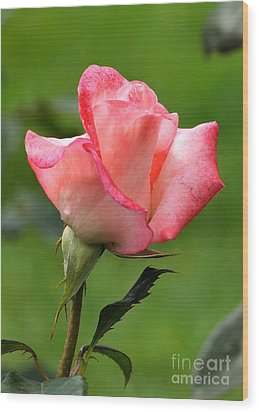 Pink Rose 3 Wood Print by Edward Sobuta