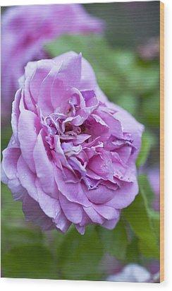 Pink Rose Flower Wood Print by Frank Tschakert