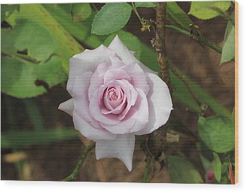 Wood Print featuring the photograph Pink Rose by Jerry Battle