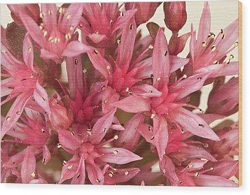 Pink Sedum Flower Macro Wood Print by Sandra Foster