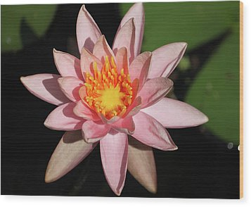 Pink Water Lily 2016 Wood Print by Suzanne Gaff