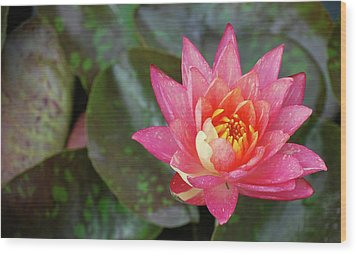 Wood Print featuring the photograph Pink Water Lily Beauty by Amee Cave