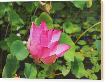 Pink Water Lotus Wood Print by Michael Palmer