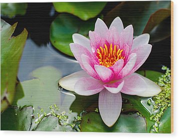 Pink Waterlily Wood Print by Daniel Precht