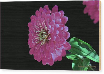 Pink Zinnia Wood Print by William Lallemand