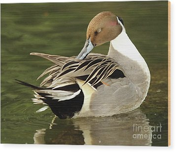Pintail Drake Grooming Wood Print