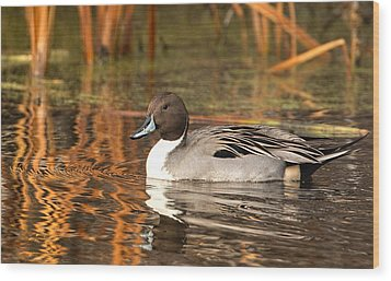 Wood Print featuring the photograph Pintail by Kelly Marquardt