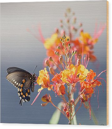 Pipevine Swallowtail Wood Print by Dan McManus