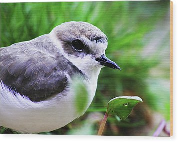 Wood Print featuring the photograph Piping Plover by Anthony Jones