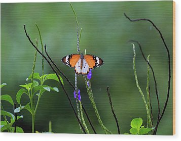 Plain Tiger Butterfly Wood Print by David Gn