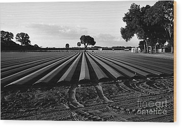 Planted Fields Wood Print by David Lee Thompson