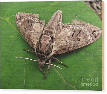 Plebeian Sphinx Moth Wood Print