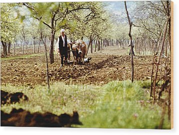 Ploughing In The Orchard Wood Print