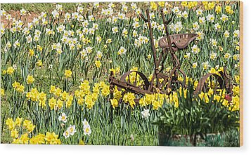 Plow In Field Of Daffodils Wood Print